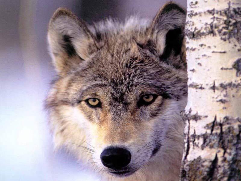 حيوانات وحشي (گرگ ها)